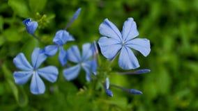 Blaue Bleiwurzblumen Stockbild