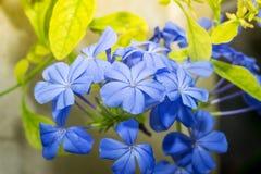 Blaue Bleiwurzblumen herein im Garten Stockfoto
