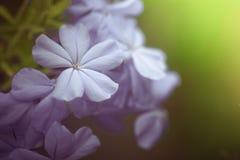 Blaue Bleiwurzblumen herein im Garten Lizenzfreie Stockfotografie