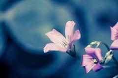 Blaue Bleiwurzblumen im Vase Lizenzfreies Stockbild