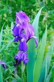 Blaue Blenden-Blume Stockbild