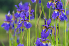 Blaue Blenden-Blumen Lizenzfreie Stockfotografie