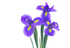 Blaue Blenden-Blumen Lizenzfreie Stockbilder