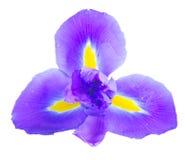 Blaue Blenden-Blumen Lizenzfreies Stockfoto