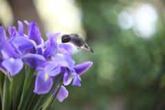 Blaue Blendenblumen mit Kolibri Lizenzfreies Stockbild