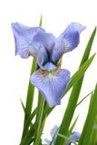 Blaue Blendenmarkierungsfahne Lizenzfreies Stockbild