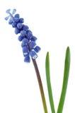 Blaue Blume. Stockbild