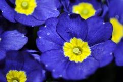 Blaue Blume Stockbilder