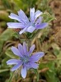 Blaue Blume Lizenzfreies Stockbild