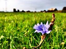 Blaue Blume auf Wiese Stockbild