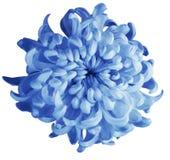 Blaue Blume der Chrysantheme lokalisiert mit Beschneidungspfad auf einem weißen Hintergrund Dunkelblaue Mitte der schönen Chrysan Stockbild