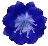 Blaue Blume der Lilie, lokalisiert mit Beschneidungspfad, auf einem weißen Hintergrund gelbe Stempel, Staubgefässe Gelbe Mitte Fü Lizenzfreies Stockfoto