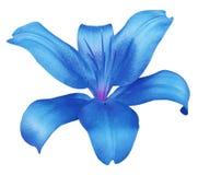 Blaue Blume der Lilie, lokalisiert mit Beschneidungspfad, auf einem weißen Hintergrund schöne Lilie, violette Mitte Für Auslegung Stockfotografie