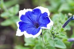 Blaue Blume im Sommer Lizenzfreie Stockbilder