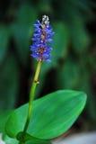 Blaue Blume im Wassergarten Stockbild
