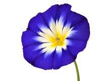 Blaue Blume mit der weißen gelben Stern-Mitte lokalisiert Lizenzfreie Stockfotos