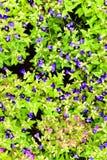 Blaue Blume, Schmetterlingserbse Lizenzfreie Stockfotografie