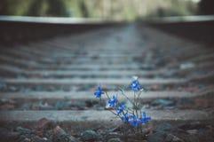 Blaue Blume wächst auf Eisenbahnlinien stockbild
