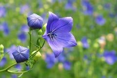 Blaue Blumen Stockfotografie