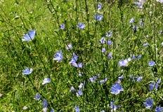 Blaue Blumen Stockfoto
