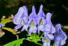 Blaue Blumen (Aconitum taigicola) 1 Lizenzfreies Stockfoto