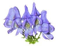 Blaue Blumen (Aconitum taigicola) 5 Lizenzfreies Stockfoto