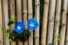 Blaue Blumen auf Bambuszaun Stockfotos