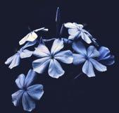 Blaue Blumen auf schwarzem Hintergrund Stockfoto