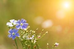 Blaue Blumen des Flachses Stockfotos