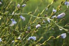 Blaue Blumen des Zichoriekräuterbetriebsschönen Hintergrundes stockfotografie