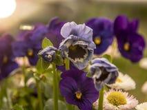Blaue Blumen im Garten stockfotografie