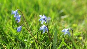 Blaue Blumen im Gras stock footage