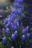 Blaue Blumen - Muscari lizenzfreie stockfotografie
