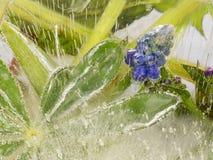 Blaue Blumen und schöne grüne Blätter im Eis Lizenzfreies Stockbild