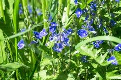 Blaue Blumen von Gamander-Ehrenpreis oder Veronica-chamaedrys auf der sonnigen Waldlichtung Stockfotografie