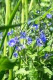 Blaue Blumen von Gamander-Ehrenpreis oder Veronica-chamaedrys auf der sonnigen Waldlichtung Lizenzfreie Stockbilder