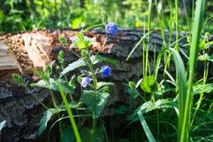 Blaue Blumen von Gamander-Ehrenpreis oder Veronica-chamaedrys auf der sonnigen Waldlichtung Lizenzfreie Stockfotografie