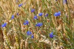 Blaue Blumen von Kornblumen unter den goldenen reifen Ohren des Weizens stockbild