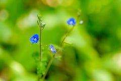 Blaue Blumen von Veronica mit zwei Staubgefässen und Stampfenahaufnahme Stockbilder