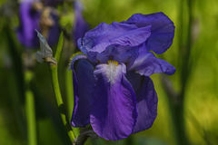Blaue Blumenblätter einer Iris blühen auf einem grünen Hintergrund Stockfotografie