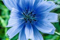 Blaue Blumendetails der Zichorie, Naturmakrofoto Lizenzfreies Stockbild