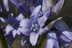 Blaue Blumenhyazinthe Tne Nahaufnahme 4 Stockbilder