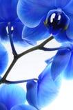 Blaue Blumenorchidee Stockbilder