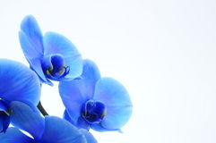 Blaue Blumenorchidee Stockfotos