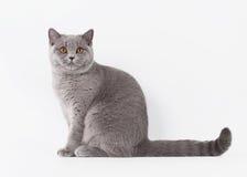 Blaue britische weibliche Katze auf weißem Hintergrund Stockfotografie