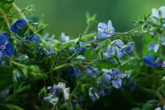 Blaue bunte Blumen Stockbilder