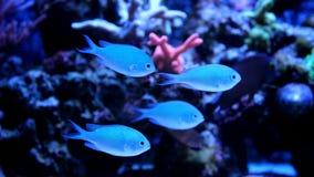 Blaue Chromis-Schwimmen im Korallenriffaquarium Lizenzfreie Stockbilder