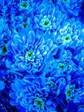 Blaue Chrysantheme Stockbilder