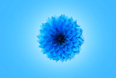 Blaue Chrysantheme Stockbild