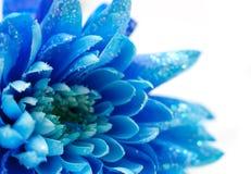 Blaue Chrysanthemen, natürlicher Hintergrund Stockfotografie